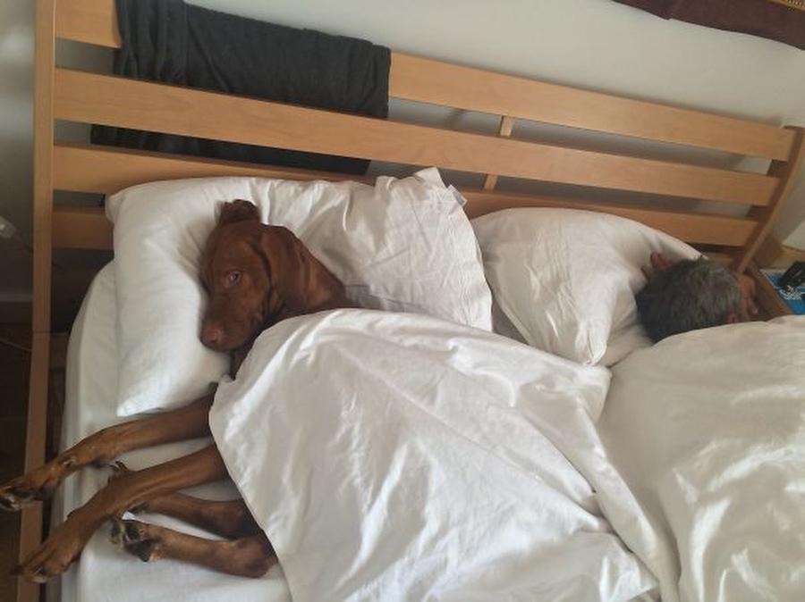 27 собак, которые спят в вашей постели, — потому что могут!