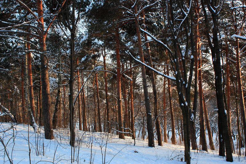День в сосновом лесу