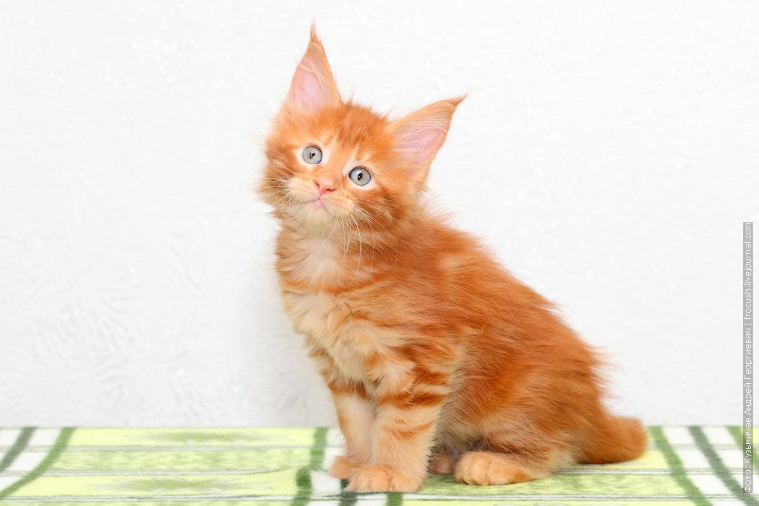 фотография красный котенок Мейн-кун