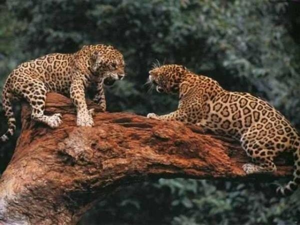 Драки настоящих диких самцов