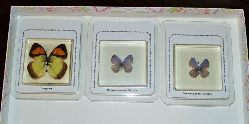 Бабочки №87 - Бабочка голубянка (Celastrina sp.)