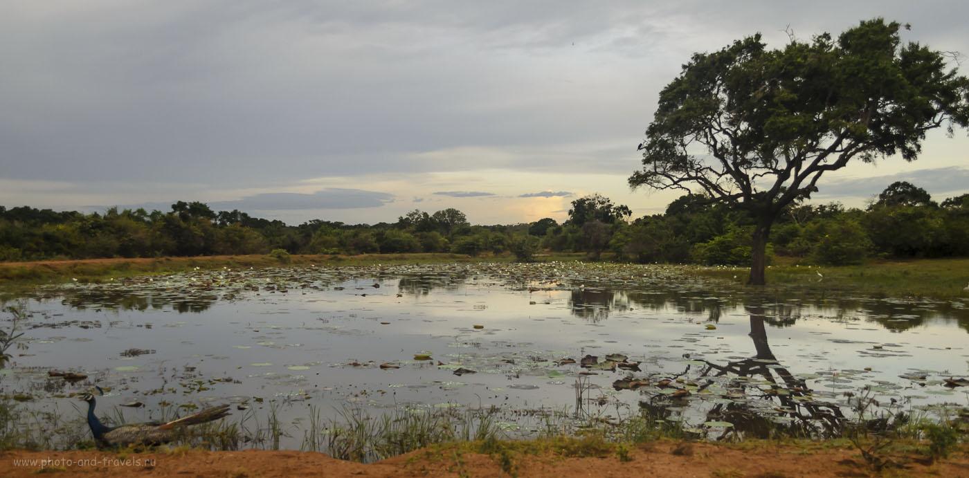 11. Шри-Ланка. Фото. Безымянное озеро с лотосами и вездесущий павлин (400, 20, 3.8, 1/1000)