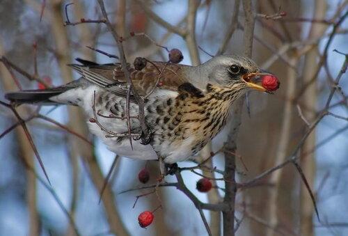 фото дрозд птицы