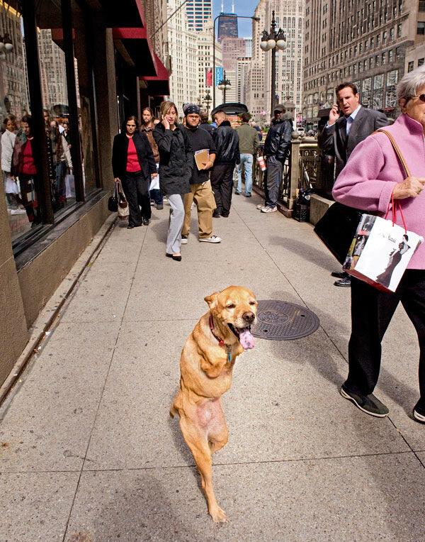 двуногая собака идет по манхеттену