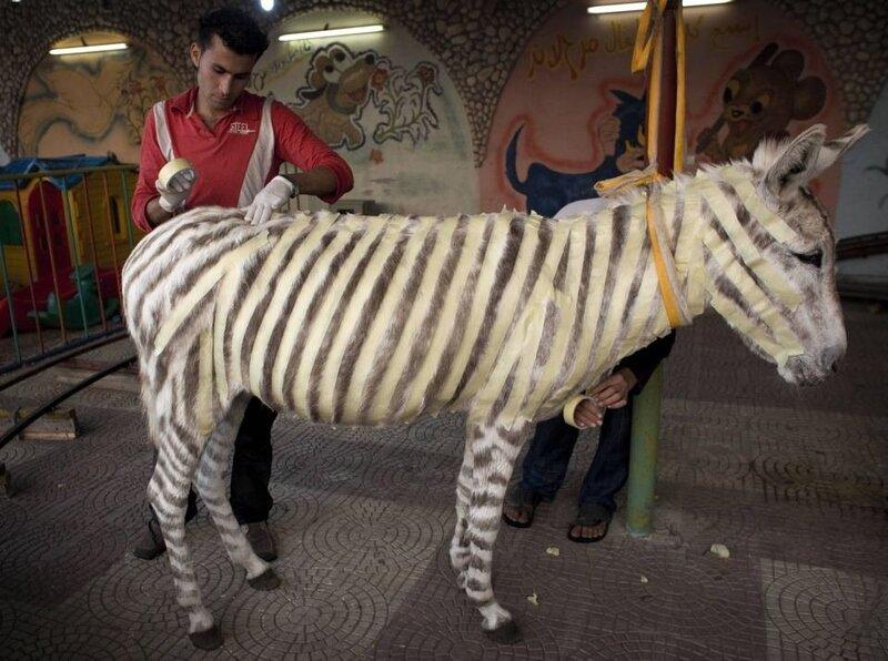 бесполезно осла красить зеброй