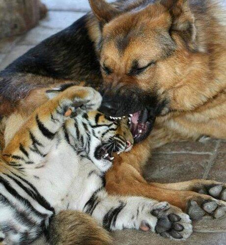 В Австралии в зоопарке Mogo трехмесячный тигренок Kinwah подружился с овчаркой. И проходит курсы молодого бойца под ее чутким присмотром
