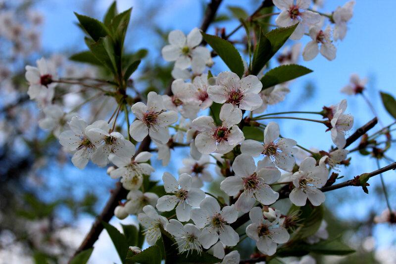 Деревья в цвету. 12 мая 2015 года