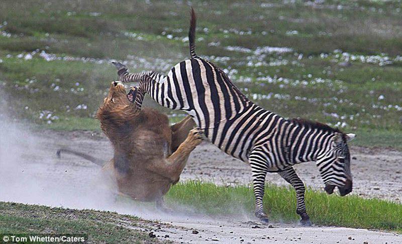 5. Зебра против льва. Это фото было сделано там же, что и предыдущее – в Нгоронгоро, Танзания. Возмо