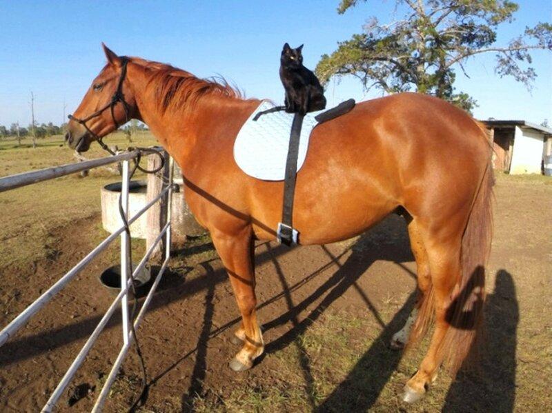 Вот так выглядит кот, у которого есть лошадь..jpg