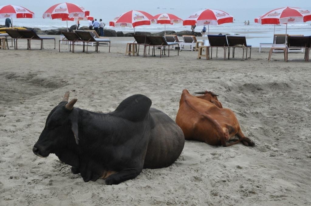 Пасторальные сюжеты на пляже Вагатор
