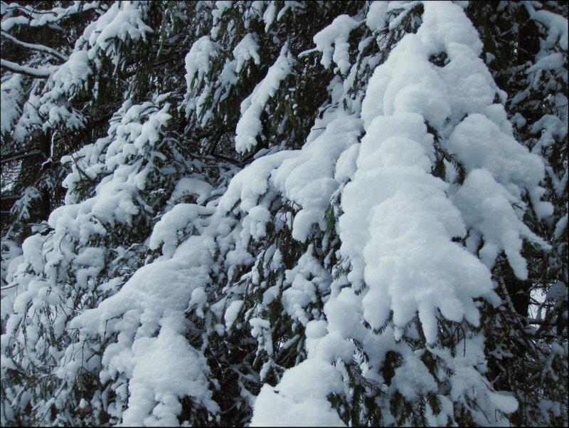 Снежные лапы ели