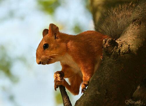 Белка-телеутка на  дереве