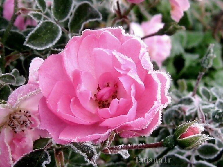 Роза для Ольги
