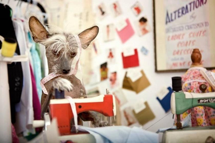 Проект «Чини». Фотографии китайской хохлатой собачки 0 141abd f61b1ac9 orig
