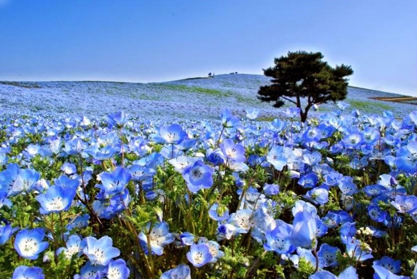 Живописный японский парк Хитати Кайхин 0 1422ed ac3b9de3 orig