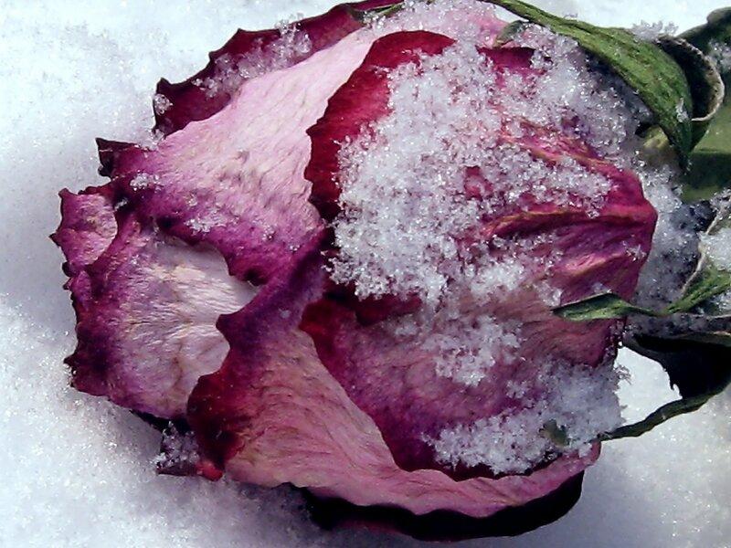 Бросили розу на снег...