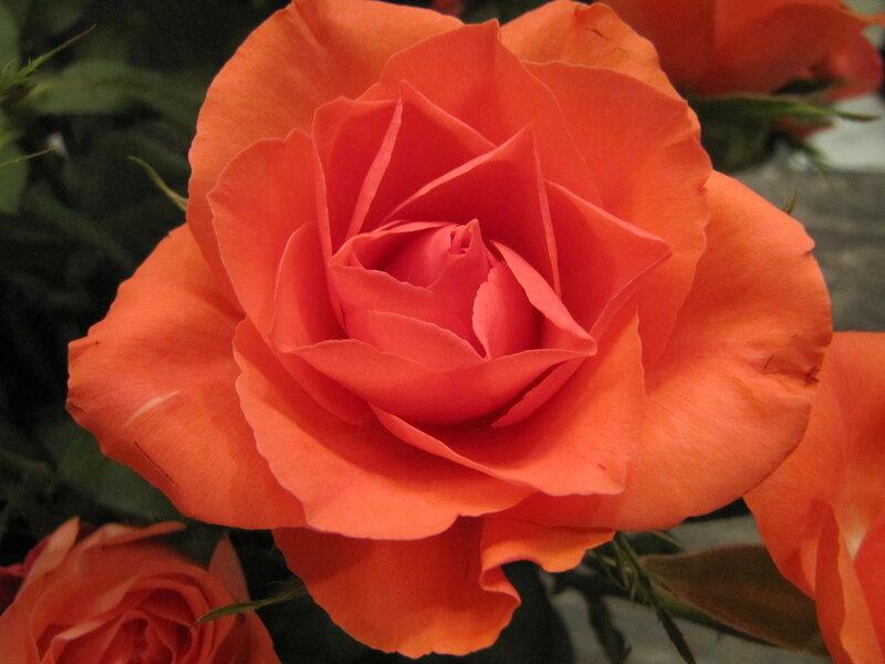 Roza rozovaja