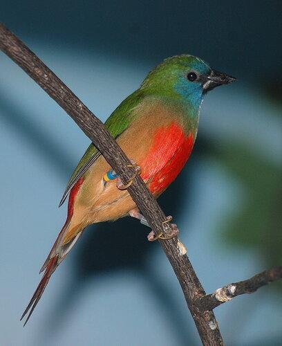 Луково-зеленая попугайная амадина (Erythrura prasina), Фото фотография птицы
