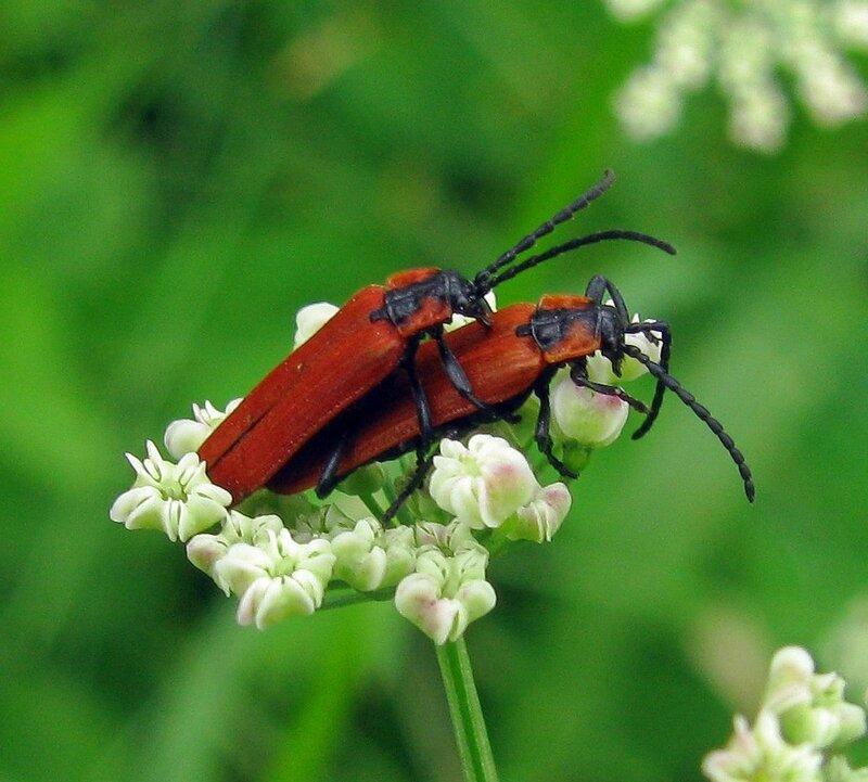 Краснокрыл кровавый(Lygistopterus sanguineus).