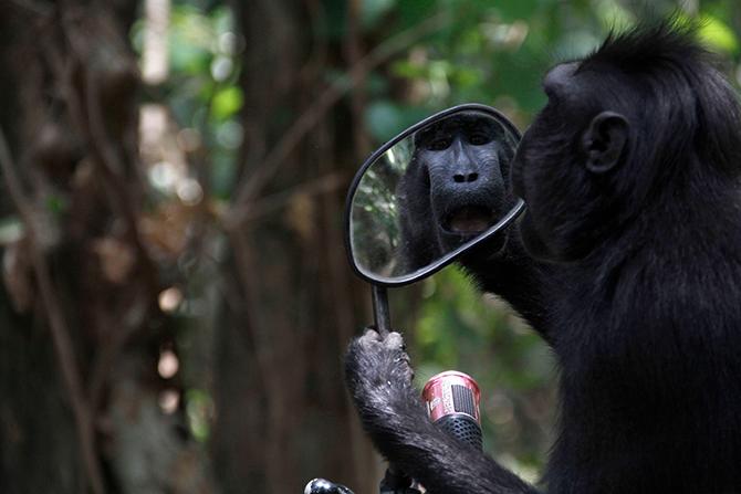 Черная макака пытается увидеть свое отражение в зеркале заднего вида мотоцикла.