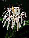 Зимний Муми-сад: Кринум азиатский, Crinum asiaticum