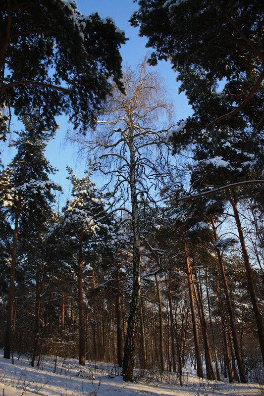 Зимний лес и солнечный свет