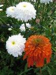 Нивяник Fiona Coghill и  Echinacea Intermezzo(2).JPG