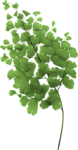 sd_heartsong-fern.png