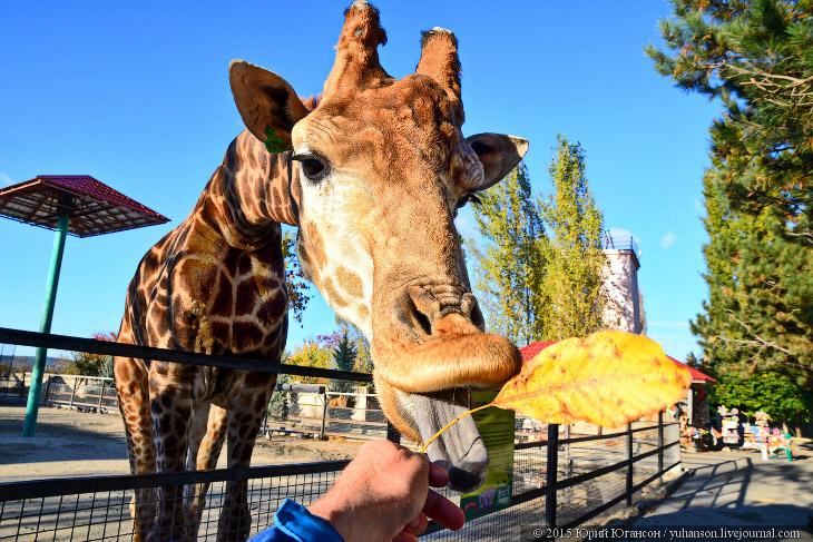 Фотографии и текст Юрия Югансона 1. Если вы таки нашли себе жирафа, определитесь, что это всё таки ж