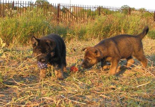 Родились щенки от Charly v. Rio Negro и Lola iz Peschanki 0_eab40_480c818c_L