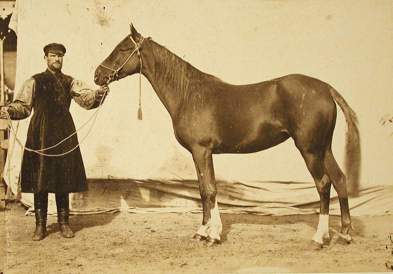 34. Кобыла конного завода Руссо, экспонирующаяся на выставке