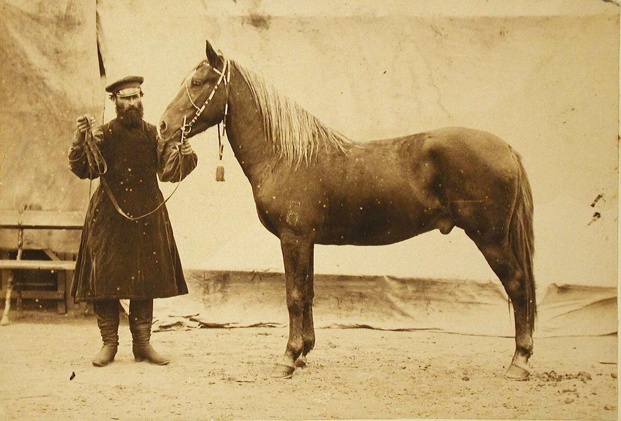 38. Жеребец конного завода Феодосьева, экспонирующийся на выставке