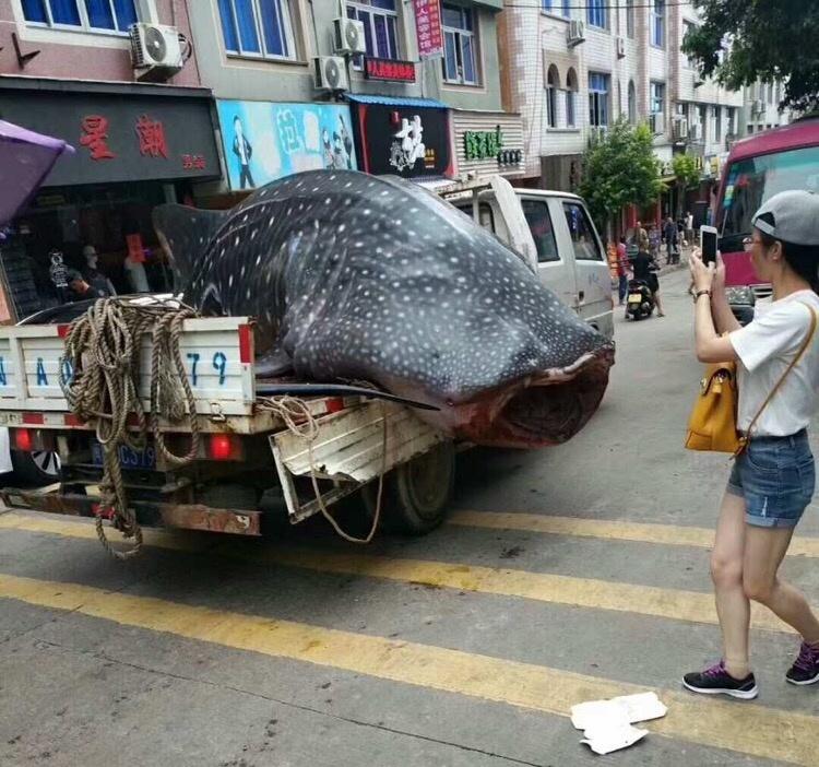 Исчезающую китовую акулу китайские рыбаки распилили на мясо