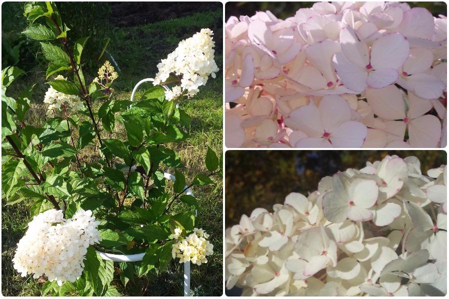 Почему метельчатая гортензия изменила цвет с розового на белый?