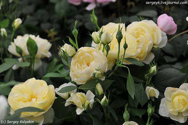 Rosa Vanessa Bell (2).JPG