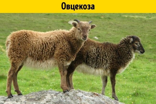 © depositphotos  © commons.wikimedia  Этот гибрид рождается врезультате смешения барана