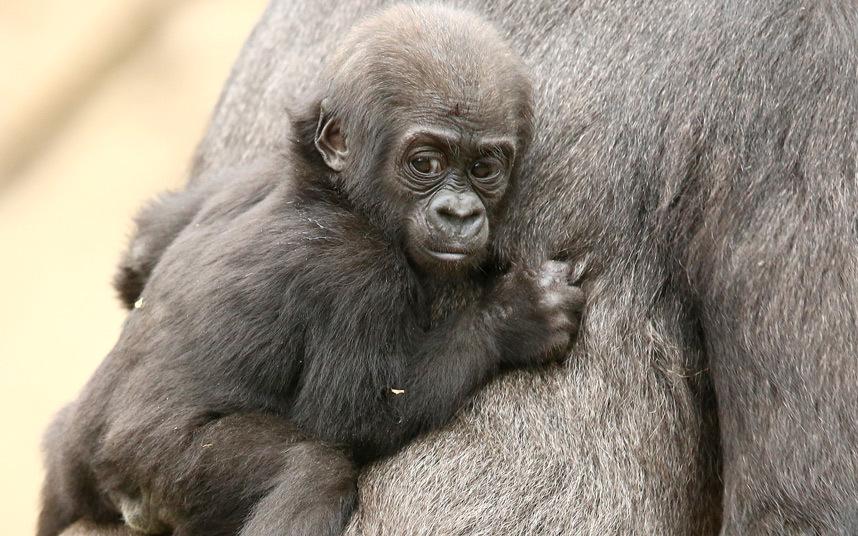 6. Близнецы. Новорожденный попугай ара знакомится с игрушкой. (Фото Alamy):