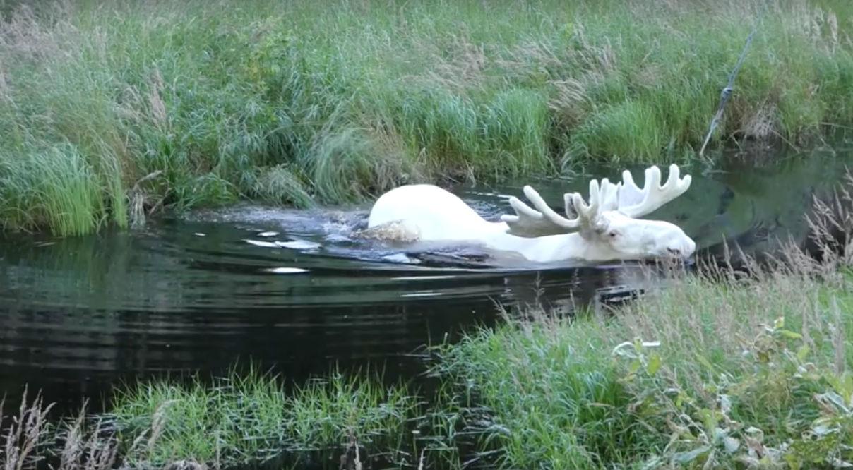 На видео лось переплывает ручей, чтобы полакомиться листьями на другом берегу.