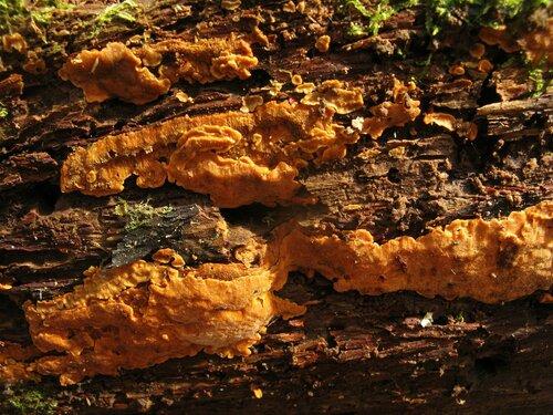 Ригидопорус шафранно-желтый (Rigidoporus crocatus). Он, конечно, краснокнижный, но иногда начинает встречаться уж слишком часто Автор фото: Станислав Кривошеев