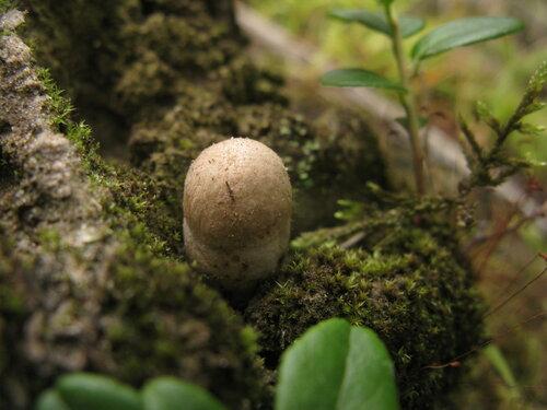 Подберезовик болотный (Leccinum holopus). До сих пор попадаются только единичные экземпляры. Такая же картина и с черноголовиками. Автор фото: Станислав Кривошеев