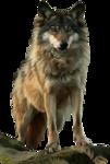 волки-пнг-1.png