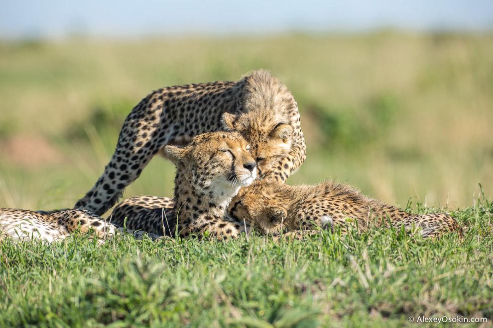 9. Между собой гепарды общаются звуками, напоминающими писк в перемешку с мяуканьем.  10. Ге