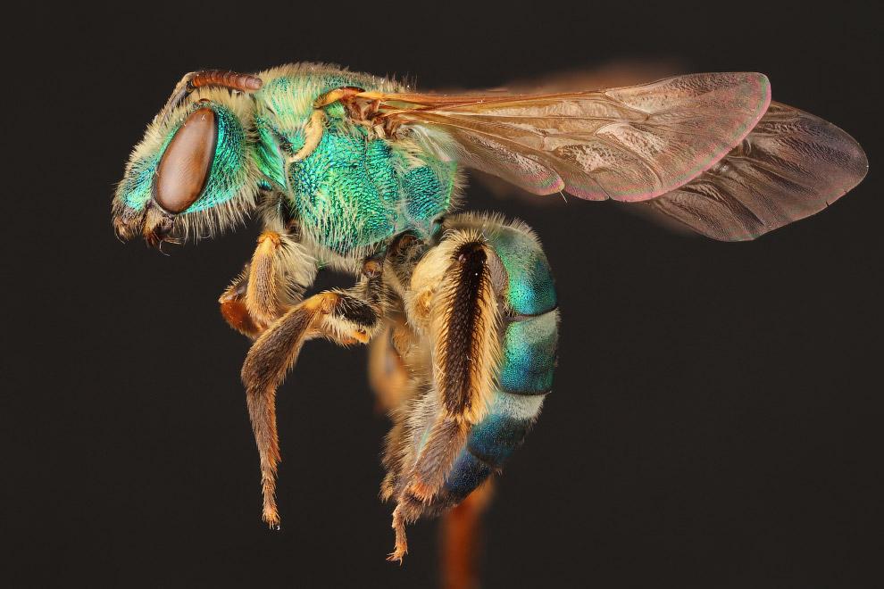 3. Тело большинства пчёл покрыто многочисленными электростатическими ветвистыми ворсинками, спо
