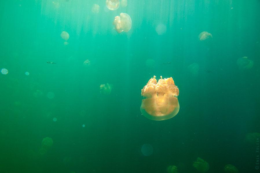 Но это еще не все! Часть своего питания медузы получают от симбиотических морских водорослей, к
