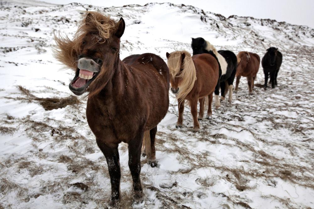 Дикие лошади Исландии