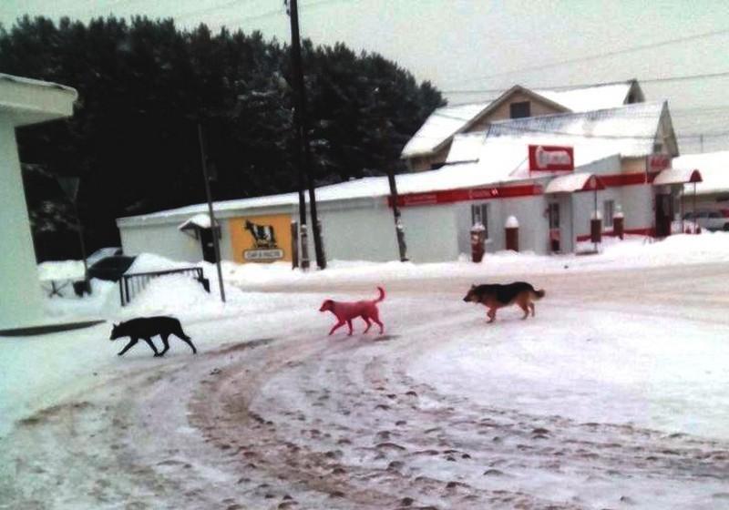 Покрашенную в розовый цвет собаку поймали в Ижевске