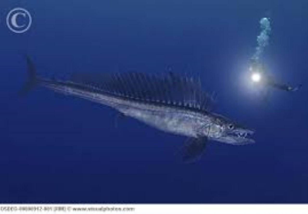 рыба пилозуб картинки самом деле это