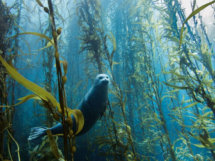 1. Любопытный тюлень ?выглядывает из водорослей в 160 километрах от южного побережья Калифорнии, неп