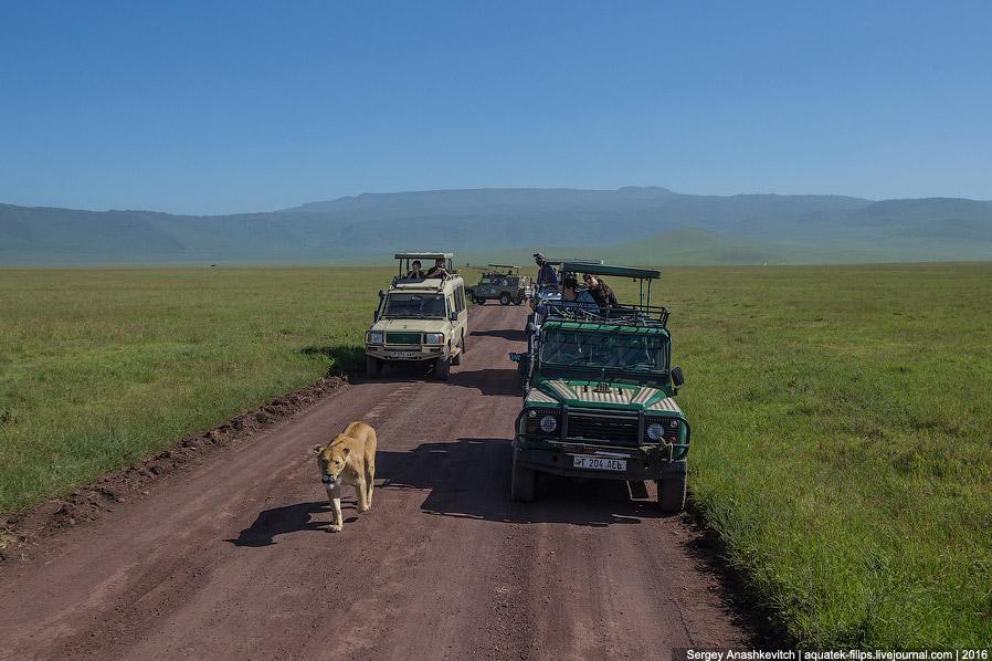 7. Здесь целый прайд. У туристов дикий восторг. Этих львов мы «сопровождали» несколько километр