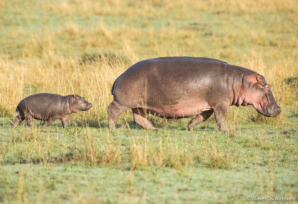 4. Носороги. Очень их люблю! У взрослых особей нет естественных врагов. Они мощные и у них ужасный х